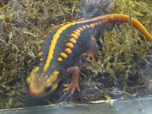 Crocodile Newt