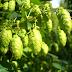 Novos lúpulos acompanham tendência de cervejas frutadas