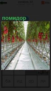 в теплице выращивают помидоры в вертикальном состоянии