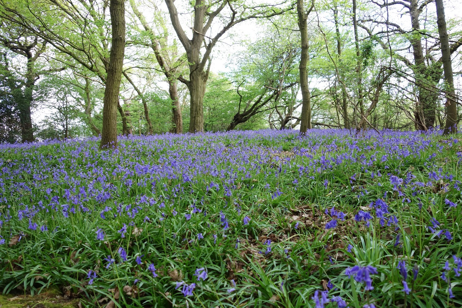 A spring walk in a bluebell wood, spring 2017