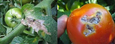 Τούτα,ο χειρότερος εχθρός της ντομάτας (Tuta Absoluta)