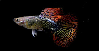 Ikan Guppy Red Mozaik