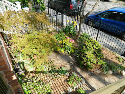 Toronto Spring Front Yard Garden Cleanup Cabbagetown After by Paul Jung Gardening Services a Toronto Gardening Company