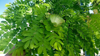 Albizia kolkora (Kolkora mimosa) legume tree white flowers leaves