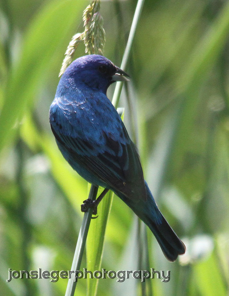 Indigo Bunting Northern Illino...