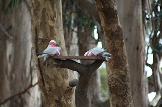 And Now The Galah Event.