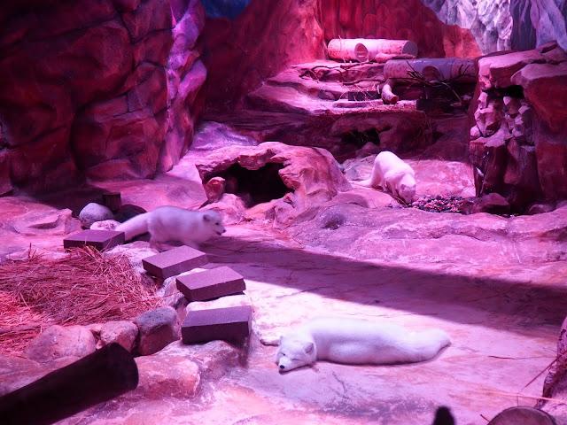 Arctic foxes, Ocean Park, Hong Kong