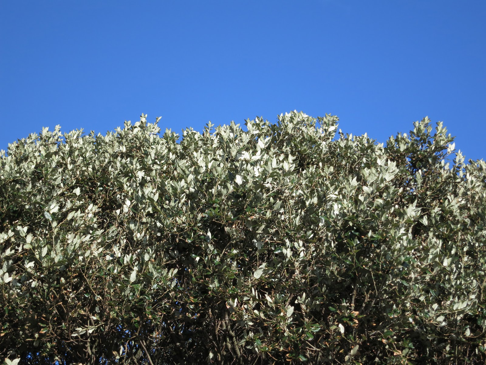 Holm Oak - Quercus Ilex - Dorset - February 12th 2014 - Very top of the tree