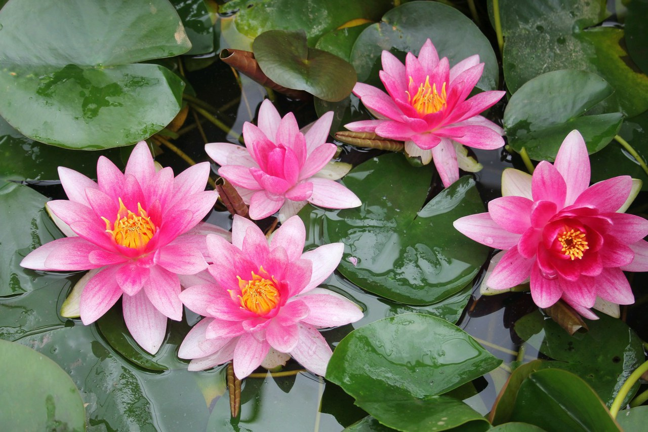 Tips on Choosing Water Lilies for the Garden