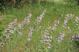 a field of beardtongue to anticipate