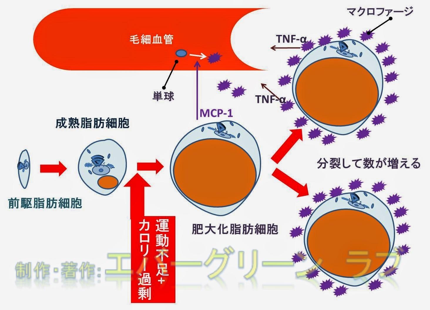 TNFα, アディポネクチン, インスリン抵抗性, 前駆脂肪細胞, 成熟脂肪細胞, 炎症, 白色脂肪細胞, 肥大化脂肪細胞, 脂肪組織, アンジオテンシノーゲン,MCP-1, PAI-1,炎症,内臓肥満,
