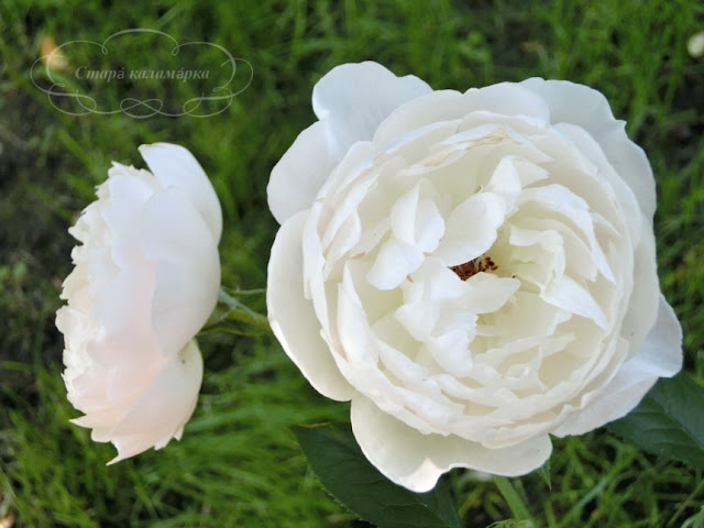 Desdemona Devid Austin, розы остинки, розы Дэвида Остина, розарии, сочетания роз
