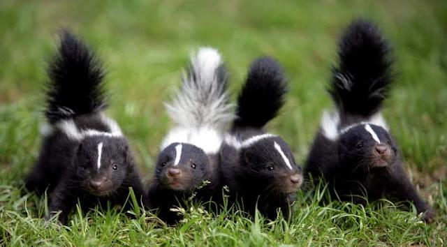 baby skunk pets