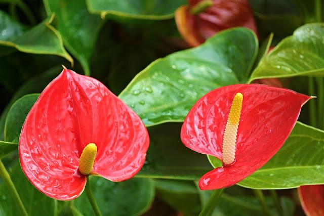 anthurium-flamingo-flower-2507743_1920.j