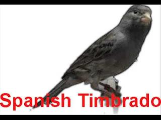 Burung Kenari Spanis Timbrado - Solusi Penangkaran Burung Kenari - Mengenal Burung Kenari Spanis Timbrado - Kenari Song Unggul Dalam Kicaunya