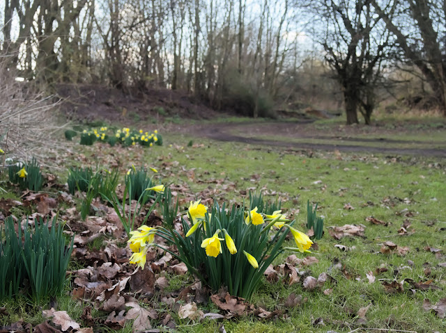 Clumps of daffodils besides path
