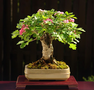 bonsai mini5