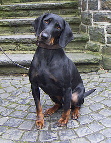 Austrian Black and Tan Hound-dogs-pets-dog breeds