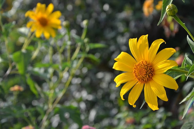 Northwest Vietnam attracts visitors by the beauty of wild sunflower or Tithonia diversifolia flowers 5