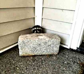 Corner raccoon