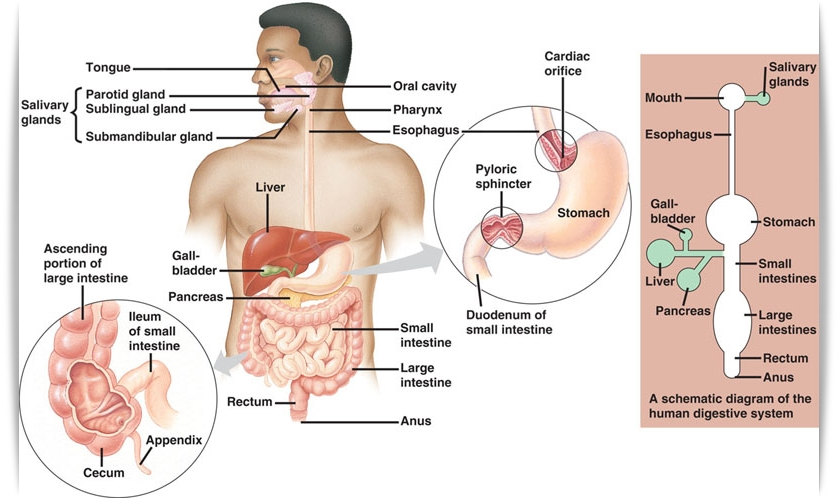 Pembahasan Soal Un Biologi Sistem Pencernaan Soal Utbk Tps Sbmptn 2020 Dan Pembahasan Prediksi
