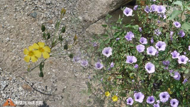 Flores del  Camino Inca  Chontay a California