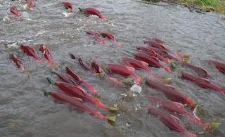 Ikan Salmon Migrasi