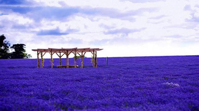 Perkebunan Bunga Lavender