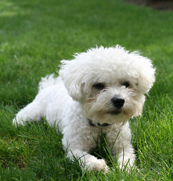 bichon maltese puppies bichon maltese apartment dog all about dogs 9073