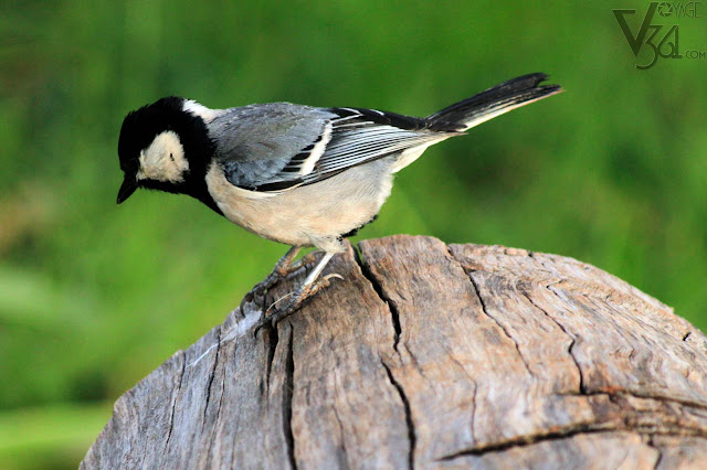 Great tit(12.5-14.0 cm) - Ooty