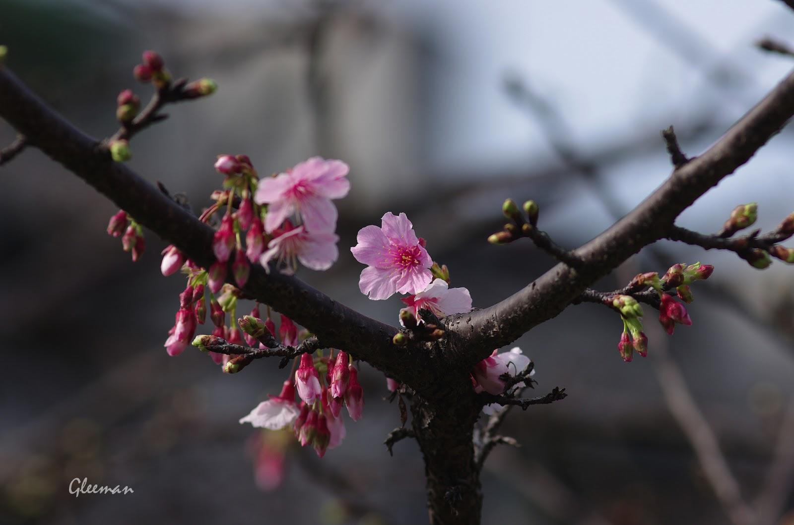 雞南山腳的櫻花陸續綻放,春天真的來了。