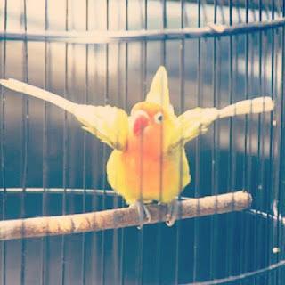 Cara Jitu Mengatasi Lovebird Gesek Tangkringan (Gestang)