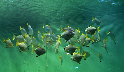 Habitat & Karakteristik Silver Moonyfish