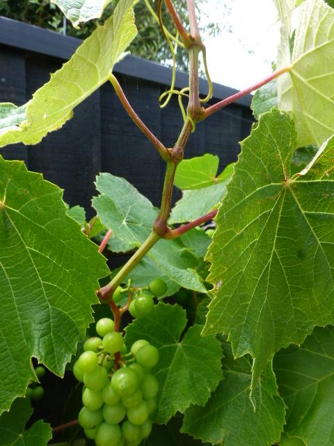 Alan Jolliffe How To Summer Prune A Grape Vine