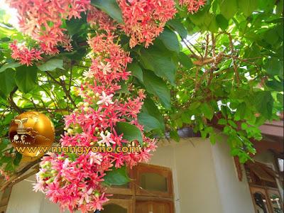 Tanaman Bunga Melati Belanda dirambatkan ke canopy atas pintu dapur