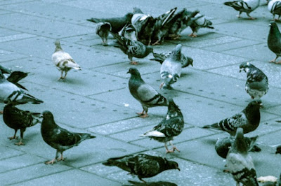 Darwin raised pigeons to obtain information about evolution. He failed, they remained pigeons, but with some variations.