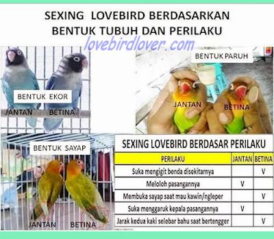 penentuan jenis kelamin lovebird