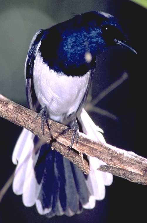 Gambar Burung Kacer