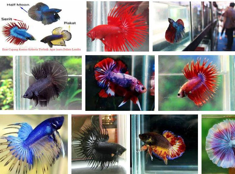 Kriteria Kontes Ikan Cupang