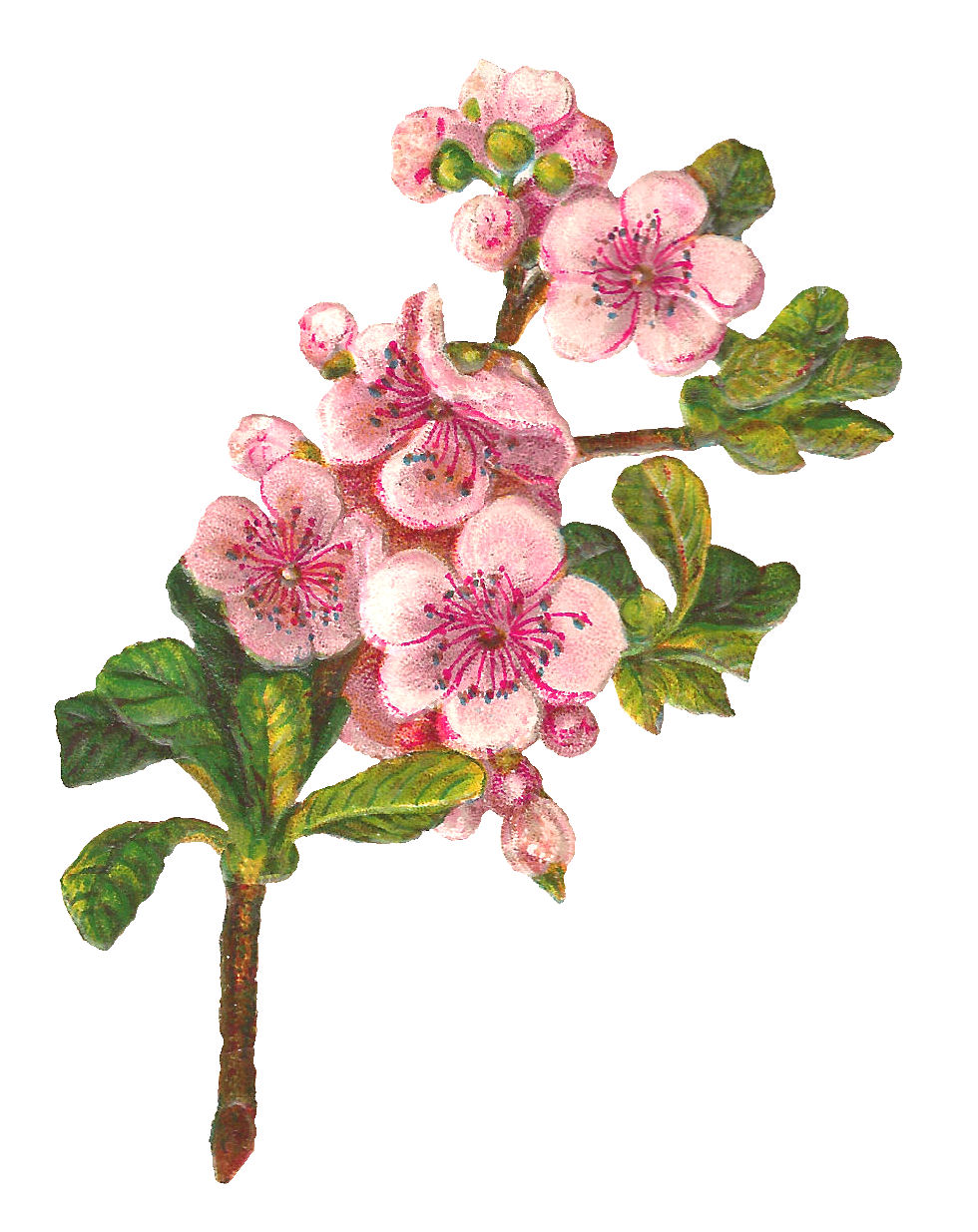 Antique images botanical art apple blossom flower digital for Art flowers