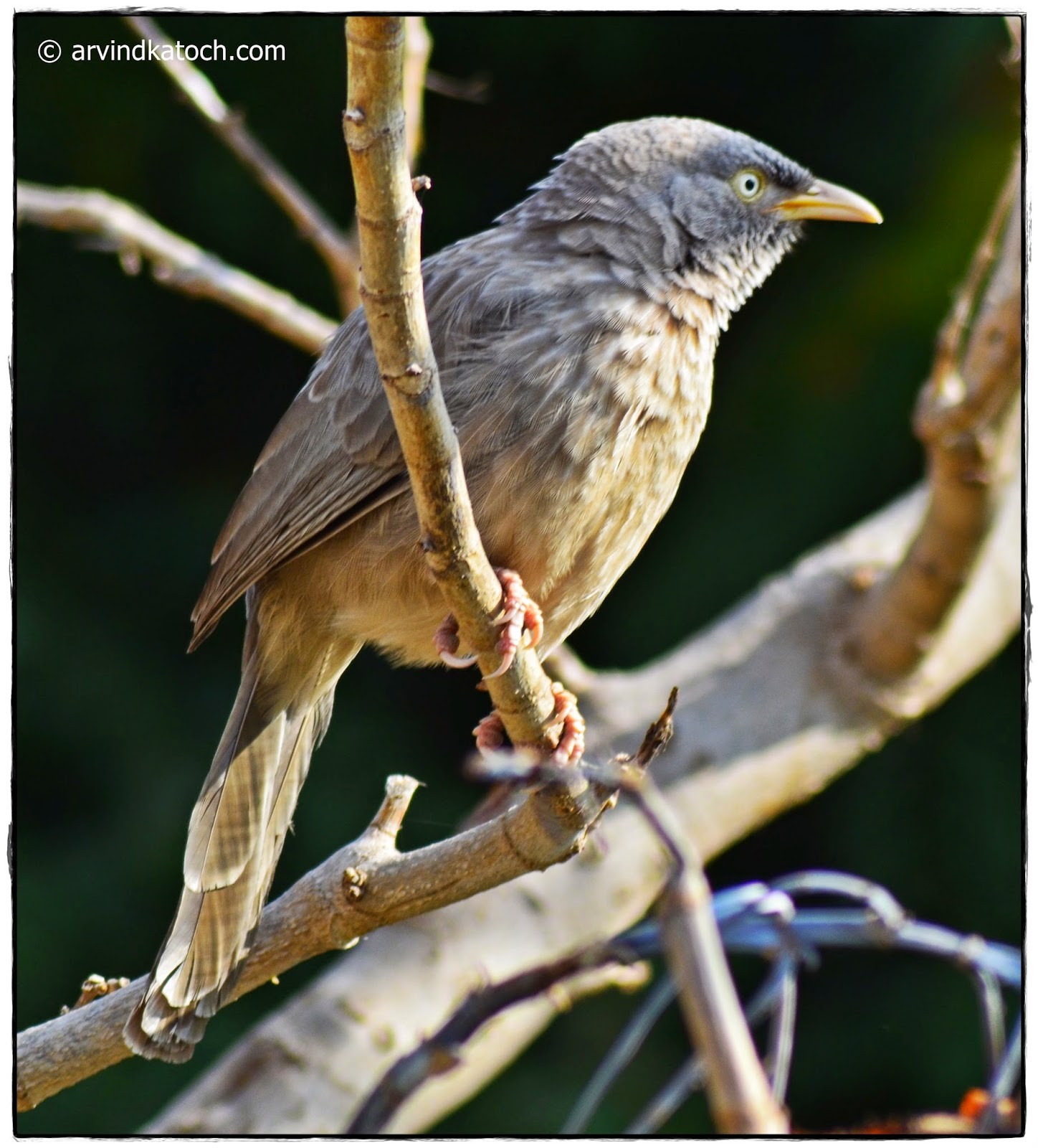 Side View, Jungle Babbler