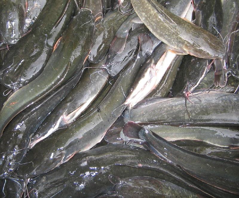 harga bibit ikan lele