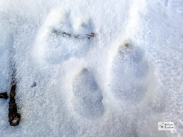 Ślady zwierzyny na śniegu