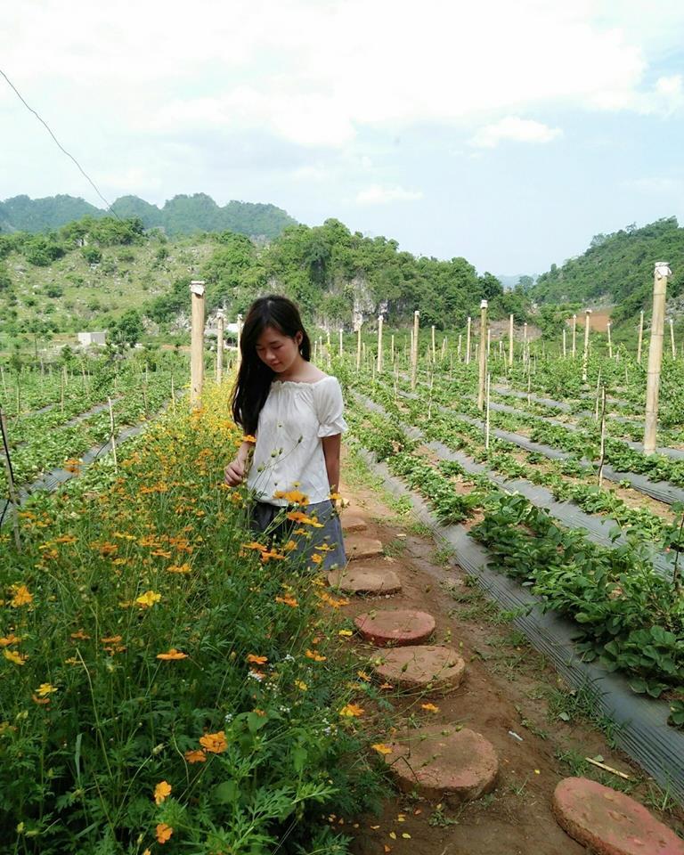 Đi tham quan vườn dâu tây Mộc Châu