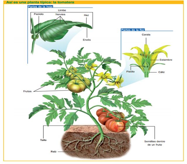 Reino de las plantas con ciencia for Clasificacion de las plantas ornamentales