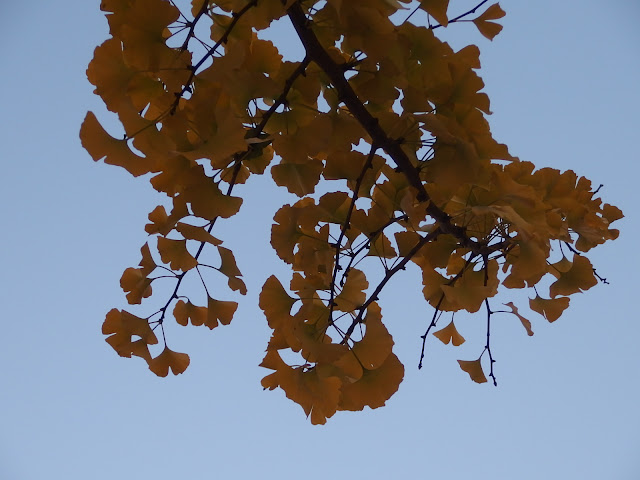 Beautiful Ginkgo biloba leaves in the twilight