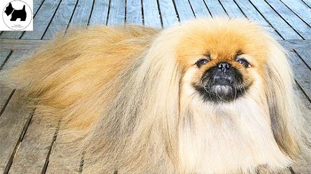 Cutest Dog Breeds, Best Dog, Pekingese Dog
