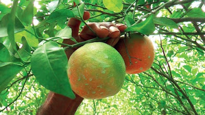 Orange plantation in Gohara village north Dinajpur