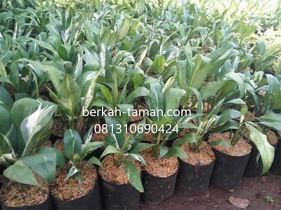 pohon spatufilum variegata