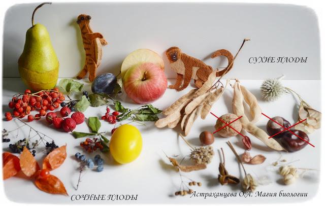 klassifikacija-plodov-suhie-sochnye-surikat-martyshka